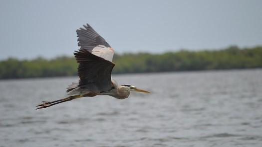Blue Heron in flight across lagoon