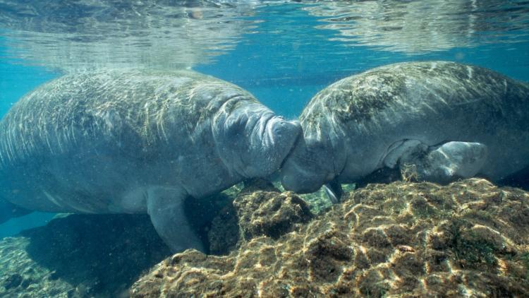 Kissing Manatees at Homosassa Springs
